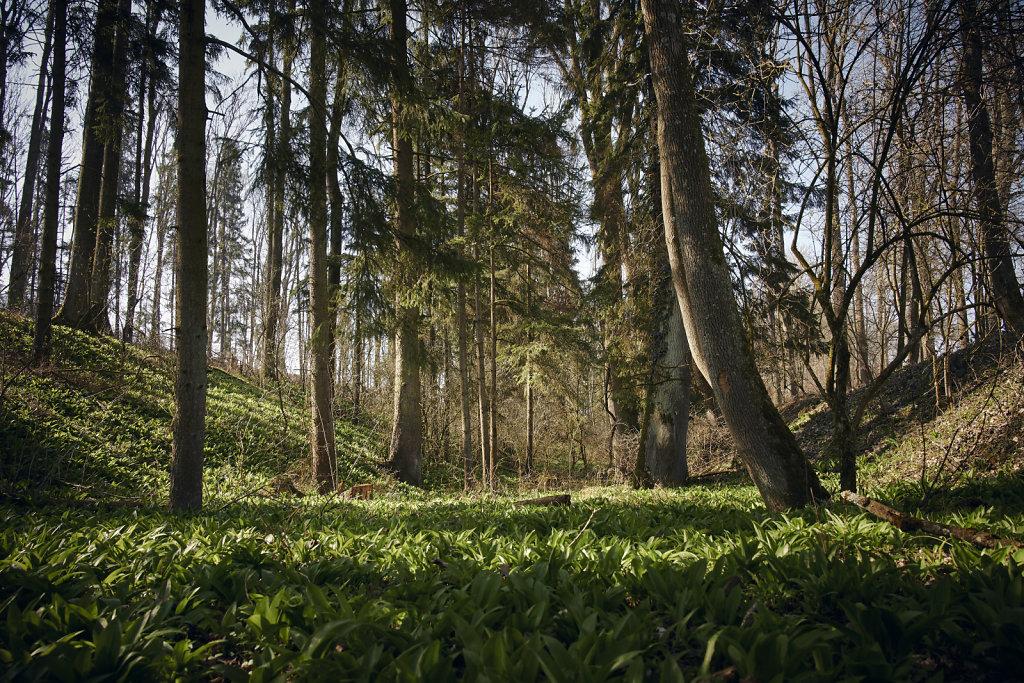 Bärlauch im Frühlingswald